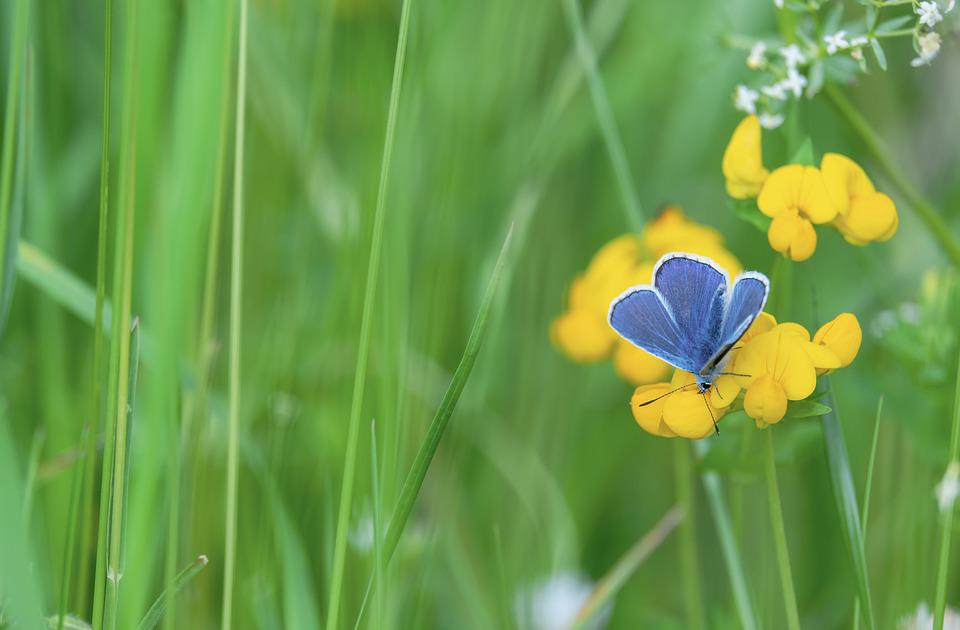 Common Blue, Butterfly, Flower, Insect