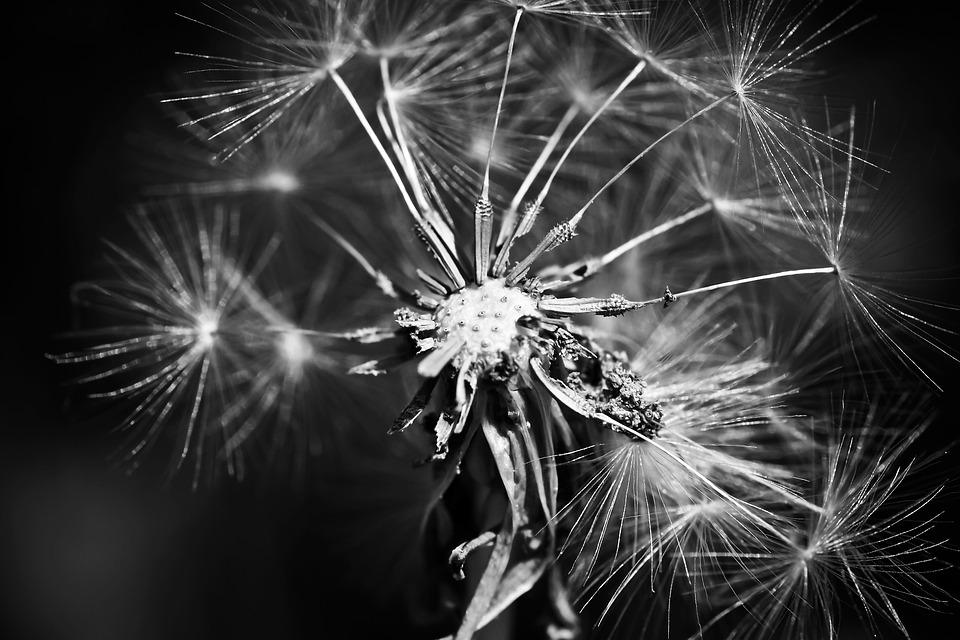 Dandelion, Flower, Spring, Close, Composites