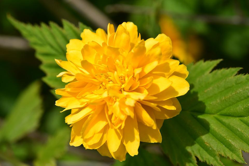 Flower, Flower Color Yellow, Corête Of Japan