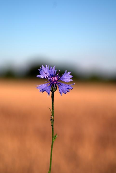 Cornflower, Flower, Blue, Plant, Wildflowers