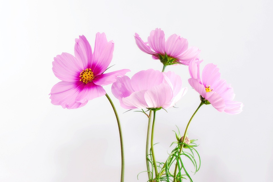 Cosmea, Flower, Blossom, Bloom, Plant, Close, Nature