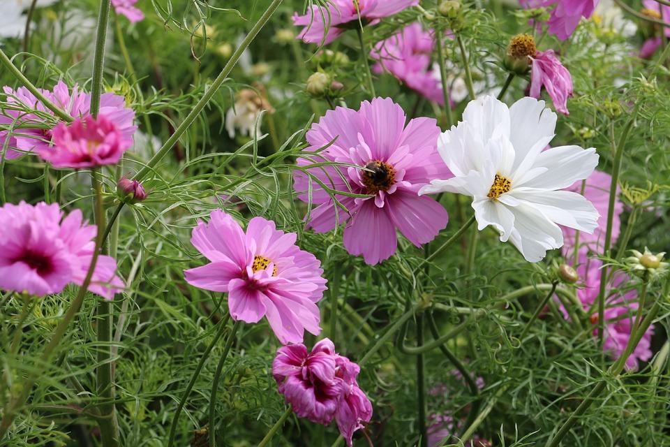 Flower, Pink Flower, Cosmos Flower