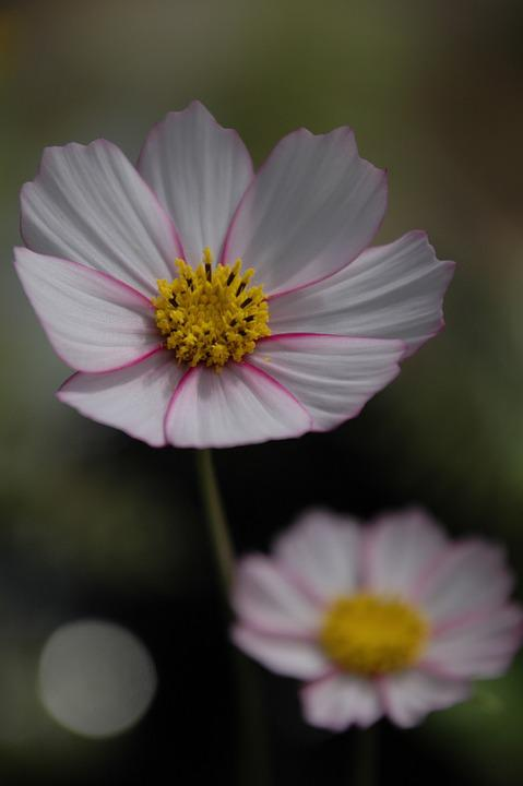 Flower, Cosmos, Pink, Annual, Mood