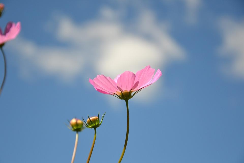 Cosmea, Flower, Plant, Cosmos, Garden Flower, Nature