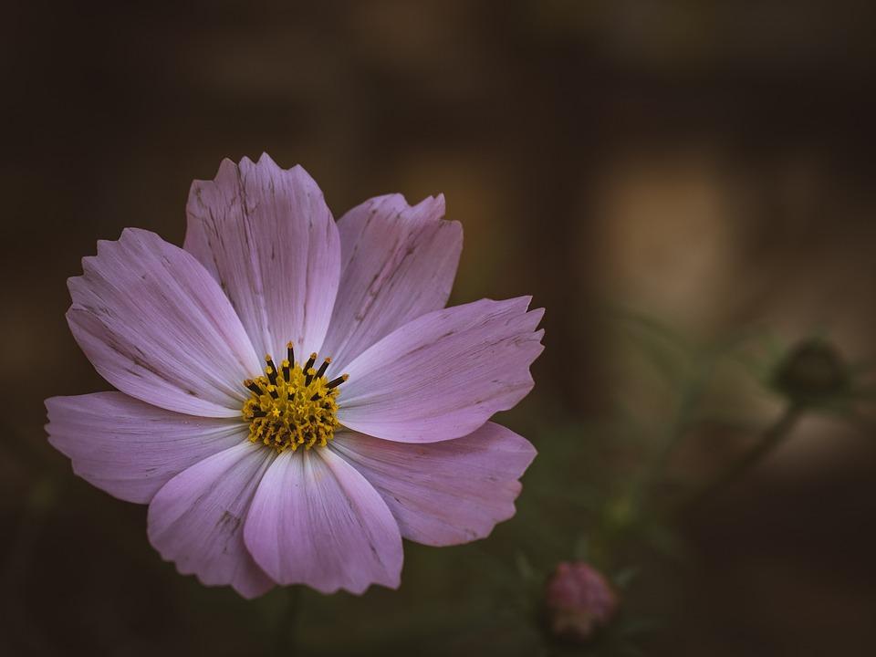 Cosmos, Flower, Plant, Summer, Nature, Purple, Petals
