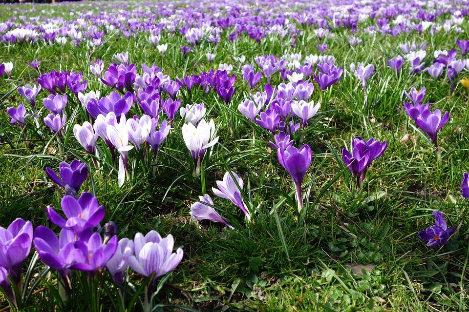 Crocus, Flower, Nature, Plant, Garden