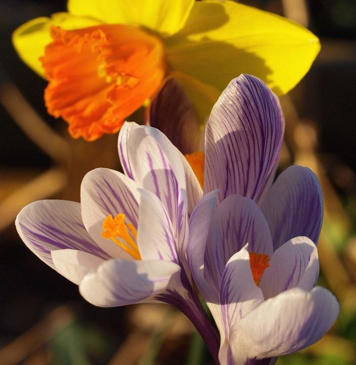 Crocus, Lilac, Flower, Spring, Wildflower, Floral