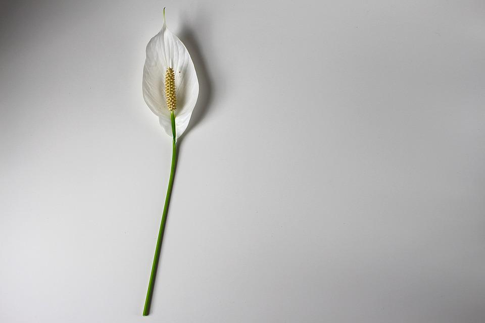 Peace Lily, Flower, Background, Cut Flower