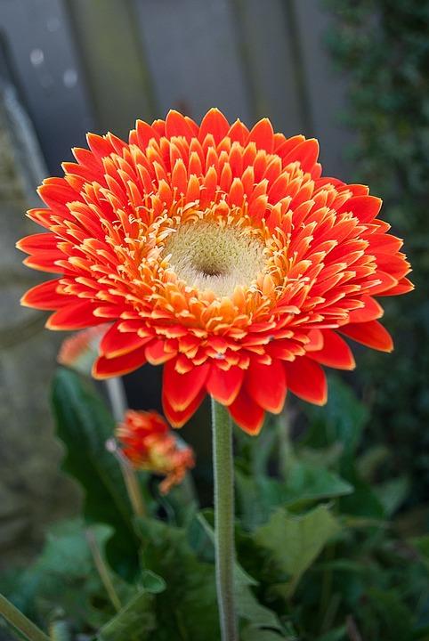 Gerbera, Flower, Color, Cut Flowers, Orange