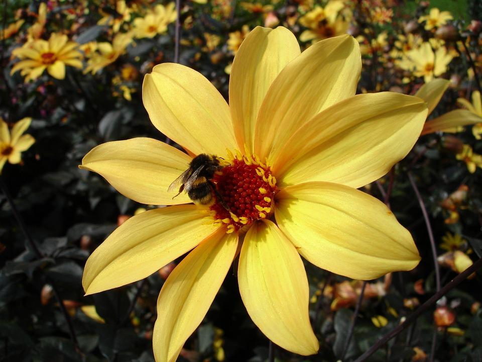 Dahlia, Flower, Blossom, Bloom, Plant, Dahlias, Nature