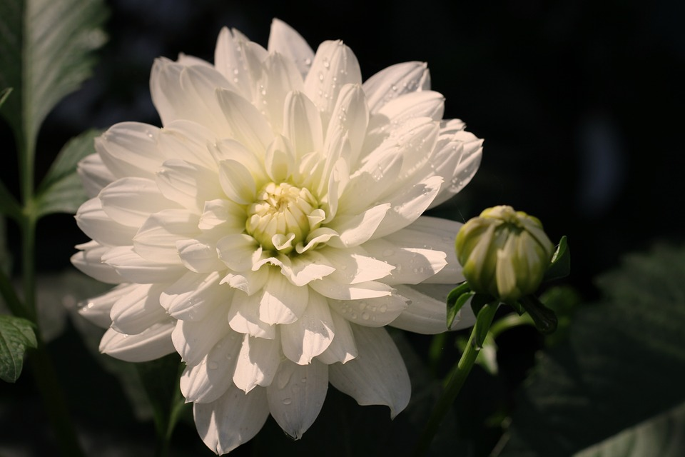Dahlia, White, Blossom, Bloom, Flower, Dahlia Garden