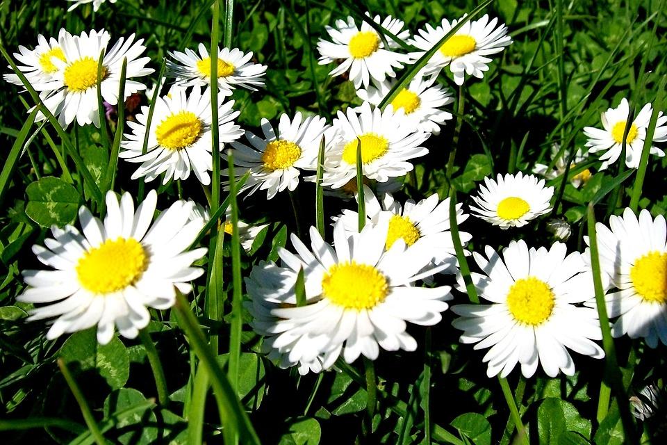 Nature, Flower, Flora, Summer, Daisy, Daisies, Blooming