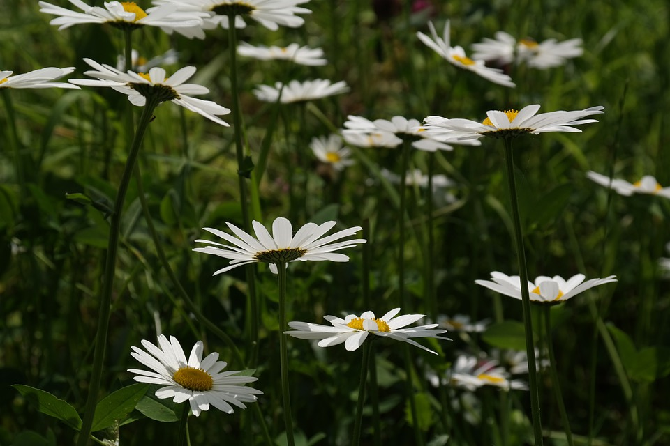 Daisies, Meadow Margerite, Meadows Margerite, Flower