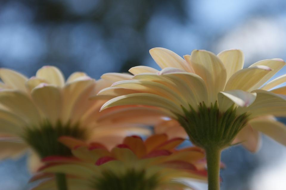 Daisy, Gerbera, Daisies, Flower, Spring, Plant, Bloom