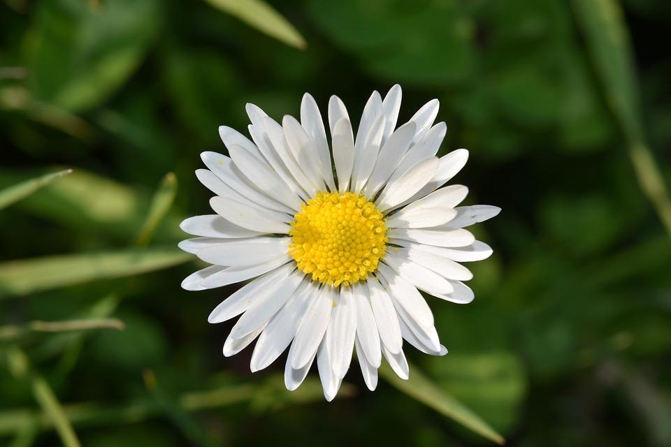 Flower, Daisy Flower, White Petals, Petals