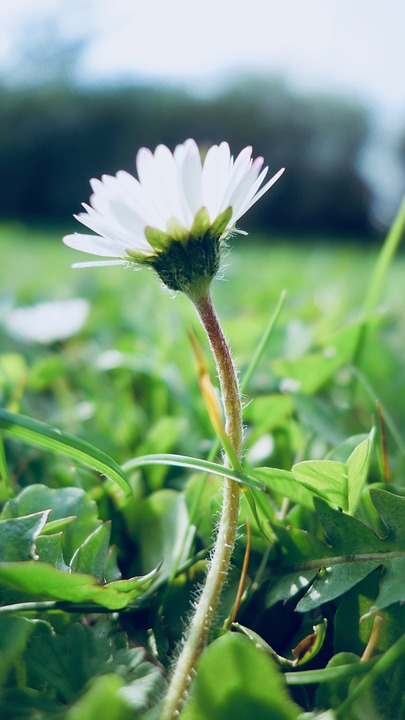 Nature, Plant, Flower, Close, Leaf, Daisy