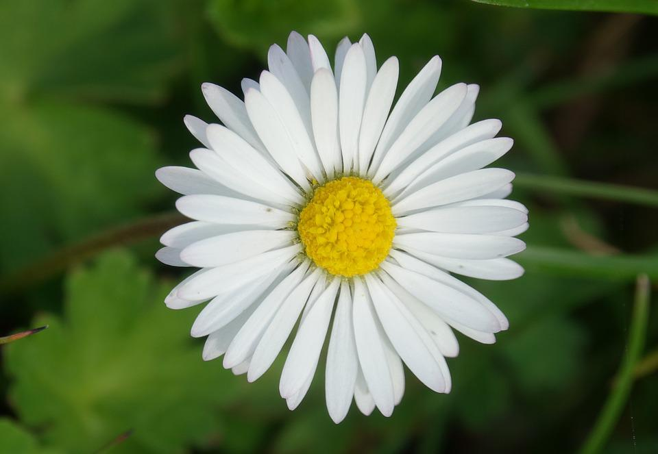 Nature, Plant, Flower, Spring, Daisy
