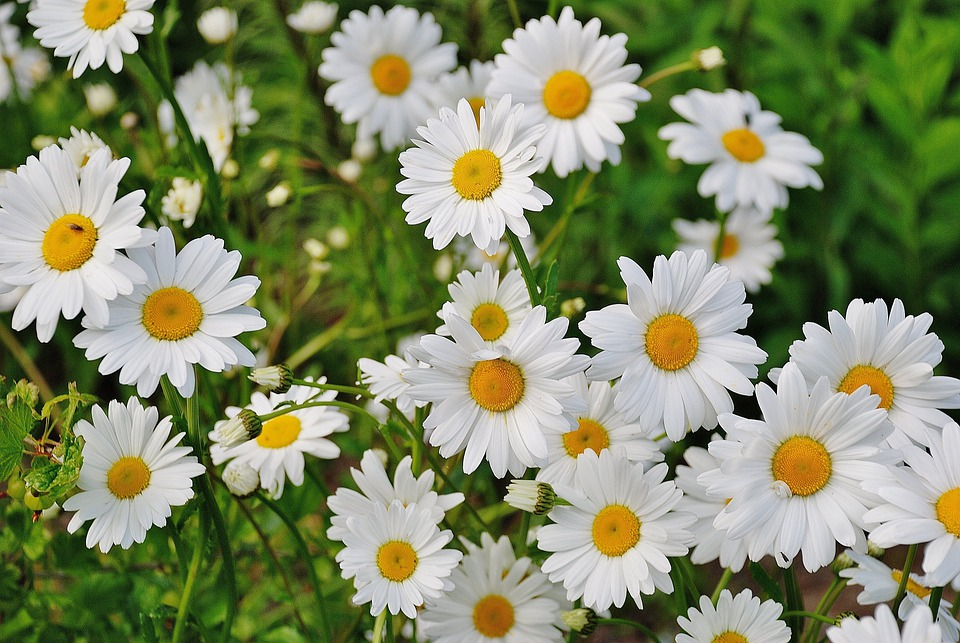 Daisy, Flower, Spring, Marguerite, Plant, Bloom