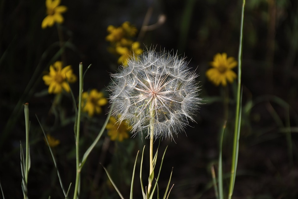 Dandelion, Nature, Flora, Flower, Grass