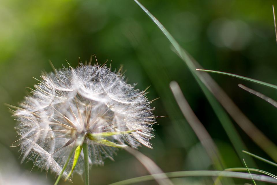 Flower, Dandelion, Nature, Pointed Flower, Close, Plant