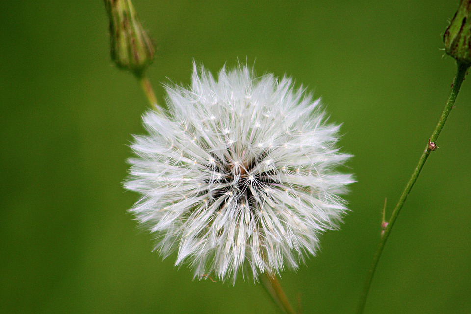 Blowball, Dandelion, Flower, White, Nature, Seeds