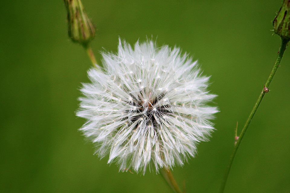 Blowball, Dandelion, Flower, White, Nature, Seeds