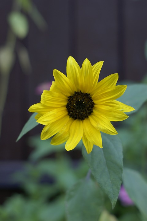 Sunflower, Flower, Garden, Decoration, Floral, Plant