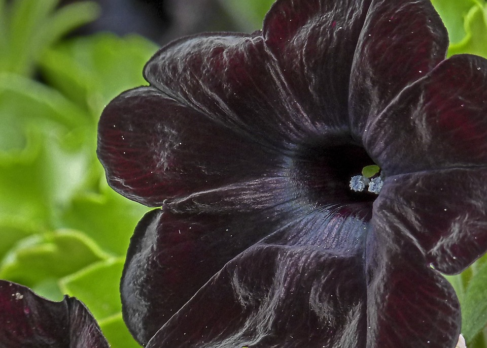 Deep Red Black, Black, Flower, Garden, Nature, Close-up