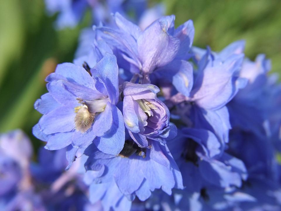 Blue, Flower, Delphinium