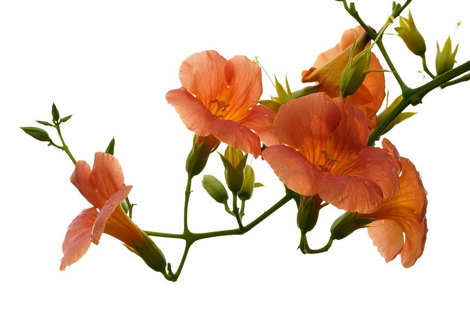 Denaturation, Flower, Campsis, Flowers, Nature, Plants