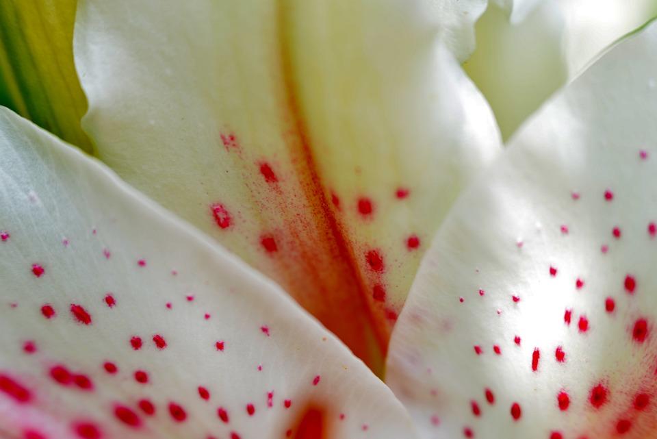 Petals, Lily, Detail, Flower, Flora, Pink, White