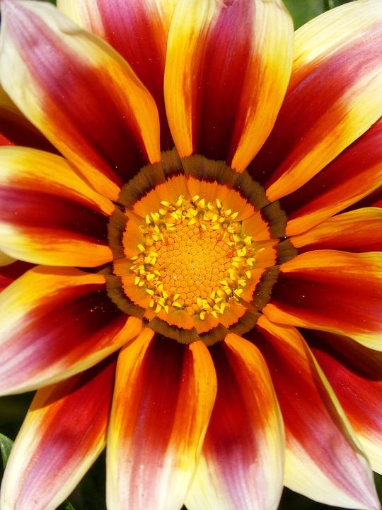 Flower, Colors, Detail, Pollen, Petals, Background