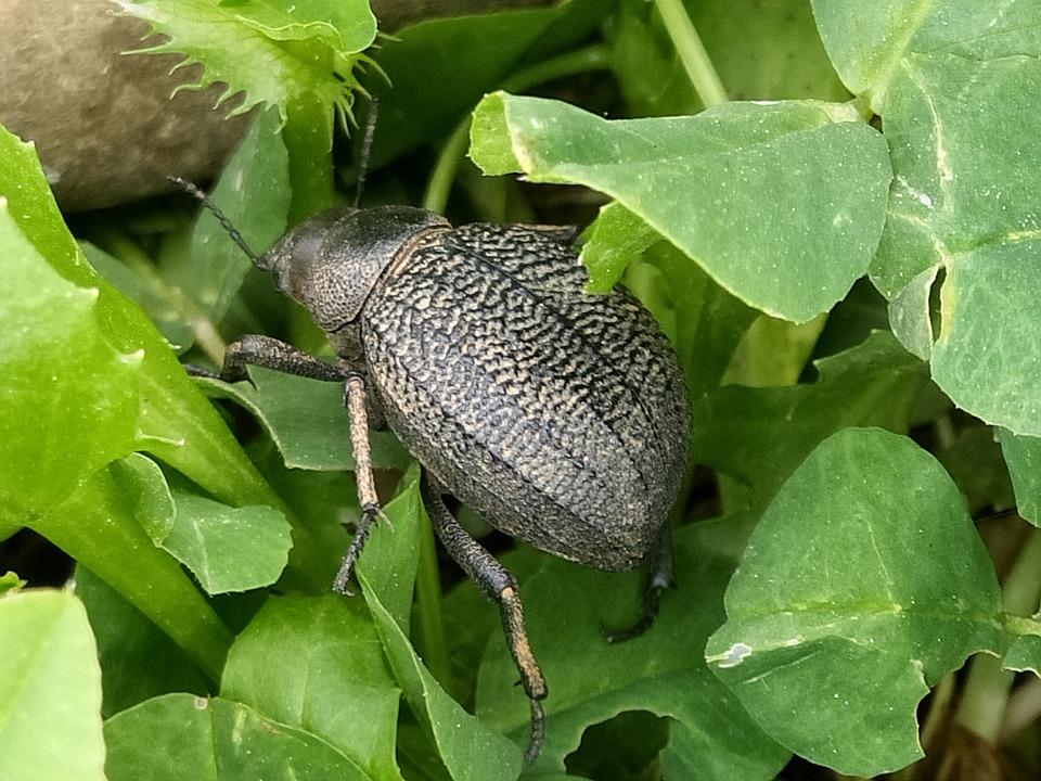Beetle, Insect, Macro, Pest, Devastating, Flower