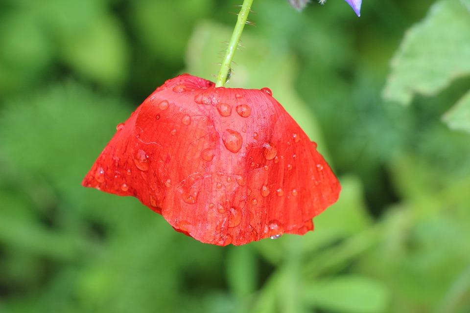 Poppy, Klatschmohn, Flower, Red, Water, Drip