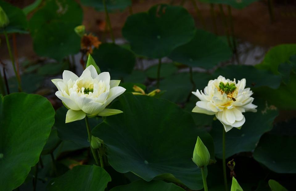 Golden Lotus, Blooming, Flower, Water, Drop, Dress, Ao