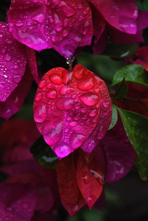 Flower, Water, Drop, Bougainvillea