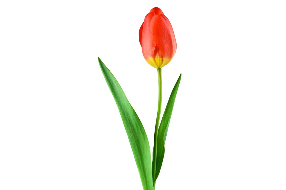 Tulip, Red, Plant, Flower, Stengel, Leaf, Drop Of Water