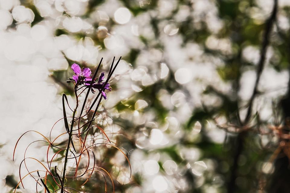 Epilobium Angustifolium, Flower, Morning Sun, Blossom