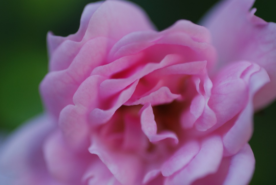 Flower, Pink Rose, Erblühend