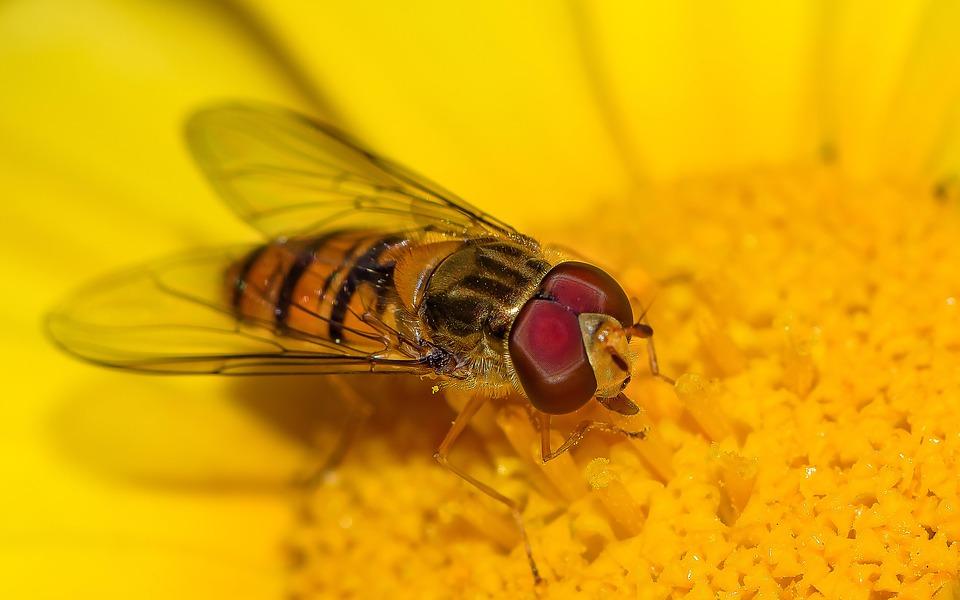 Eristalinus, Yellow, Flower, Nature, Orange