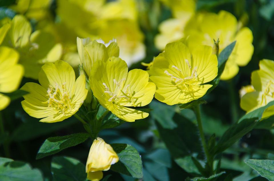 Primrose, Evening Primrose, Flower, Grass