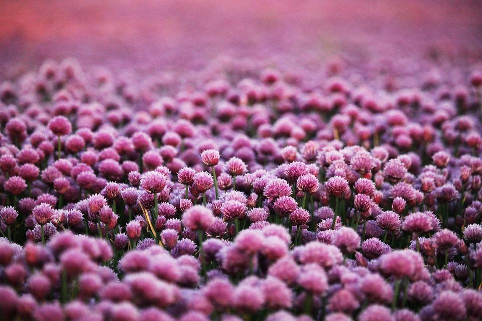Purple, Flowers, Field, Meadow, Flower Field