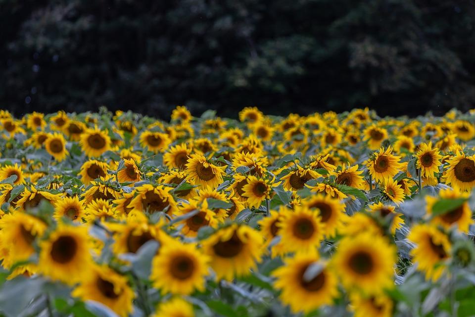 Flower, Sunflower, Petals, Field Of Sunflowers