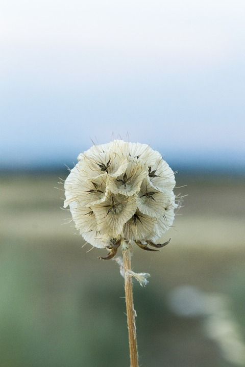 Wild Flower, Field, Sunset, Heat, Plant, Flower