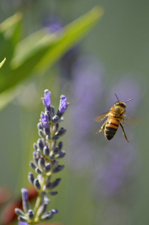 Bee, Flower, Insects, Flight, Bourdon
