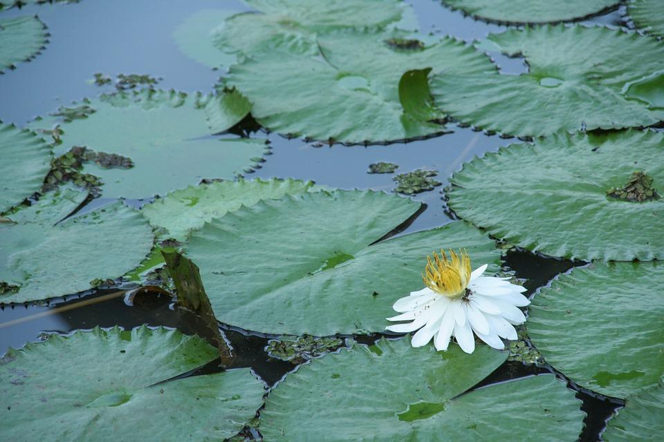 Water, Flower, Floating