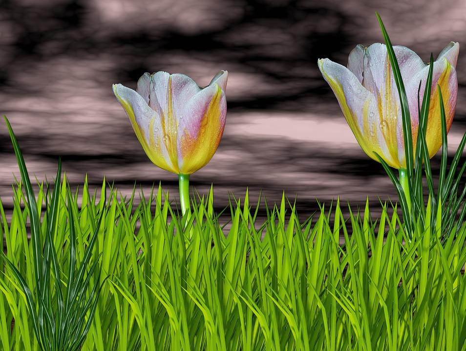 Nature, Flowers, Flower, Flor De Tulipan, Green
