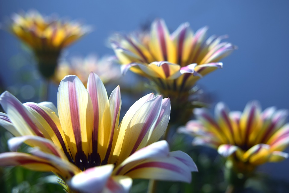 Nature, Flower, Summer, Flora, Garden, Gazania, Petals
