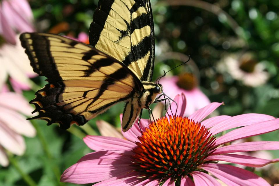 Insect, Butterfly, Nature, Flower, Flora, Echinacea