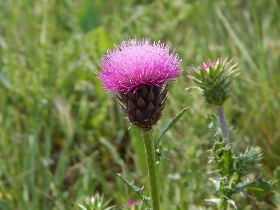 Flower, Prairie, Purple, Meadow, Flora, Wild, Nature